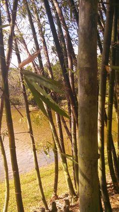 The wonderful bamboo grove at the Morikami gardens...