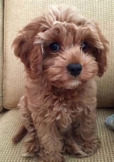 Dogs are said to be some of the best pets to keep. There are many breeds of dogs Super Cute Puppies, Cute Baby Dogs, Cute Little Puppies, Cute Dogs And Puppies, Baby Puppies, Cute Baby Animals, Funny Animals, Doggies, Cavapoo Puppies