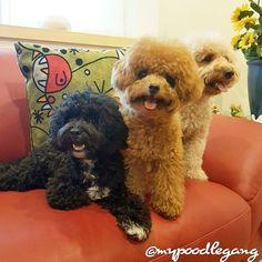 Aloha Friyay!! #poodle #poodlesg #poodlesofficial #poodlelove #dog #doggy #dogsofig #dogstagram #dogs_of_instagram #dogsofinstagram #doglovers #doglife #dogoftheday #mydog #ilovemydog #ilovedogs #instadog #maltipoo #paws #fluffypack #weeklyfluff #bestwoof #dog_features #dailydog #cutedog #dailybarker #mypoodlegang #愛犬