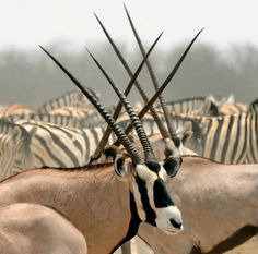 Gemsbok (Oryx gazelle) travelling with Zebras.