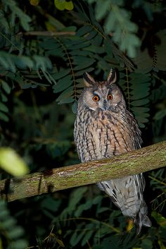 }{   Long-eared owl