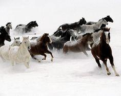 Pferde, galoppierende Pferde im Winter