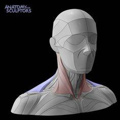 Head Anatomy, Human Anatomy Drawing, Anatomy Study, Anatomy Books For Artists, Face Topology, Neck Drawing, Anatomy Sculpture, Facial Anatomy, Anatomy Sketches