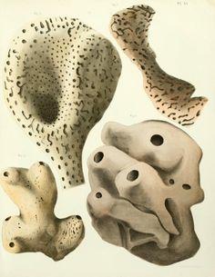 1864 - Spongiaires de la mer Caraïbe, - Biodiversity Heritage Library