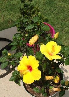 5 easy tips on potted hibiscus Chemistry Cachet Hibiscus Shrub, Hibiscus Leaves, Hibiscus Garden, Yellow Hibiscus, Yellow Roses, Pink Roses, Tropical Flowers, Hawaiian Flowers, Exotic Flowers