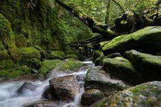 Shiratani Forest, Yakushima, Japan