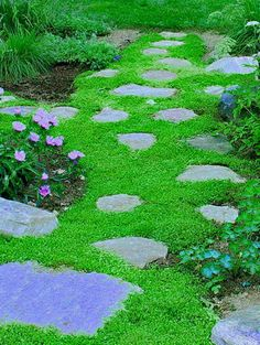 Mazus reptans- Purple Mazus  Tough and durable low-growing mat becomes covered with abundant, tiny purple flowers in early spring. Fast growing, bright green leaves creep and spread hugging the ground as it grows. Use as a lawn substitute, to fill voids in patios or tuck in between stepping stones. This versatile plant will take more than it's share of abuse and keep on growing!