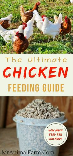 Chicken feed. Raising chickens come with many questions such as how to feed chickens. Feeding chickens can depend on many factors. Check out this chicken feeding guide.