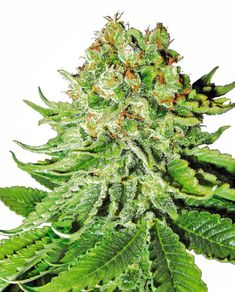 Order weed online,buy high quality medical marijuana online,cannabis oil for sale,buy wax and shatter,cannabis seeds and edibles Cannabis Growing, Autoflowering Seeds, Cannabis Cultivation, Marijuana Plants, Buy Weed Online, Healing Herbs, Planting Flowers, Northern Lights, Medical Marijuana