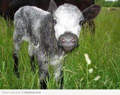 Grey Calf - goaww.com
