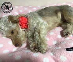 Clientes mellow disfrutando de nuestra cama   #cliemtesmellow Yorkie, Twitter, Dogs, Photos, Animals, Yorkies, Pictures, Animales, Yorkshire Terrier