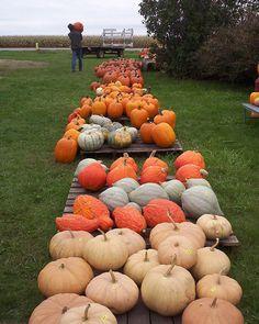 Hawk Valley Garden..my husband ending a long day in the pumpkin patch