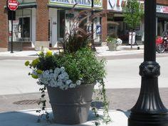 Madison WI Main Street Beautification Planter:  Please note, thriller / filler / spiller design.  Mandatory in planters!!!