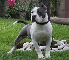 Andrades Kennel | Venta de Cachorros Pitbull