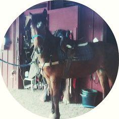 The trials and tribulations of being Ms Ada #hackneyhorse #hackney #babyhorse #ilovemyhorse #horsebackriding #horse #horses #horsesofinstagram #horseoftheday #instahorse #instagramhorses #petoftheday #petsofinstagram #equestrian #equestrianlife
