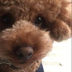 おはようございます‼︎今朝は冷え冷えですねぇご飯完食しましたが、まめはまたお布団に潜り込みました今日は少しあったかくなったらお散歩行こうねっ #dogstagram#toypoodle#todayswanko#doglover#instapoodle#redpoodle#貴婦狗#わんこ#愛犬#トイプードル#dogsofistagram#豆助#まめすけ#idog#ilovemydog#caniche#pawsomepoodles#ig_dogphoto #superdog_world#total_dogs#poodles_petsagram