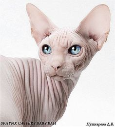 sphynx cat -