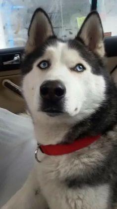 10 03 18 Super Urgent Kalamazoo Mi Husky Meet Meeka A Dog
