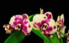 Purple spots on yellow ..Beautiful Orchid of Phalaenopsis