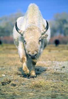White Buffalo (American Bison) was considered sacred by numerous Native American tribes American Bison, American Animals, American Indians, Rare Animals, Animals And Pets, Beautiful Creatures, Animals Beautiful, Reptiles, Mammals