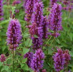Agastache 'Blue Boa' - easy-care drought tolerance, long bloom time and fragrant foliage that smells of summer. Beautiful in bouquets, and beloved by butterflies and hummingbirds.
