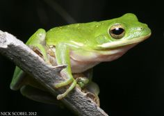 Green treefrog. Everglades.