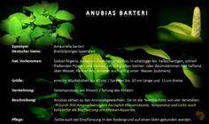 Malawisee Aquarien mit Mbunas oder auch Nonmbunas und Pflanzen.Hier die Pflanze Anubias barteri und ihre Ansprüche.Grundsätzlich sind Pflanzen überflüssig bei Malawisee Buntbarschen, wer dennoch welche möchte, hier Eckdaten zu dieser.