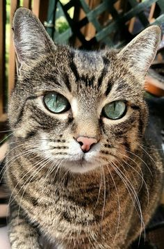 It's common to talk about tabbies as if they represent a cat breed. In fact, the word tabby denotes a coat pattern. Excellent What It Means to Be a Tabby Cat Ideas. Kittens Cutest, Cats And Kittens, Cute Cats, Ragdoll Kittens, Funny Kittens, Bengal Cats, White Kittens, Cats Meowing, Cats Bus