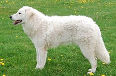 A Hungarian herding dog, the Kuvasz will not only herd animals but he will round up your children as well. The Kuvasz is truly a family dog as he will dedicate himself to loving and protecting his family for life. He is as headstrong as he is loyal and a better best friend would be […]