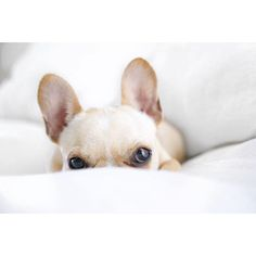 Leo, the Sneaky and Cute French Bulldog, #frenchieleo on instagram.