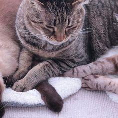 おはにゃ☀今月もみんにゃよろしくにゃね✨byひめ🐱💕(左からイーサン、ひめちゃんきい太くん) #仲良し#愛猫#猫#猫好き#猫多頭飼い#猫のいる生活#可愛い#イーサン#トンキニーズ#ひめちゃん#キジトラ#きい太#シャムトラ#ピクネコ#みんねこ#cat#cutecat#acatlover#catstagram#cute_e_licious