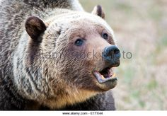 Adult mountain grizzly bear (Ursus arctos), Jasper National Park, Canadian Rocky Mountains, western Alberta, Canada - Stock Image