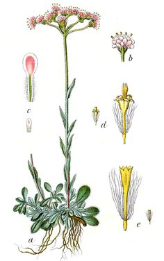 Katzenpfoetchen (Immortelle, Strohblume) - Gnaphalium dioicum L.