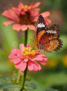 Leopard lacewing butterfly on pink flower Butterfly Quotes, Butterfly Kisses, Butterfly Flowers, Butterfly Sketch, Butterfly Wings, Beautiful Bugs, Beautiful Butterflies, Beautiful Flowers, Types Of Butterflies