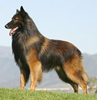 My dog will be a Belgian Tervuren
