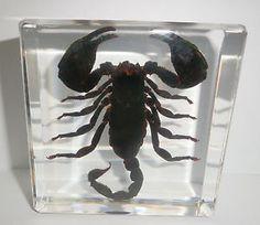 scorpion specimen in resin