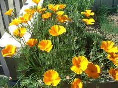 Pavot de Californie (Escholtzia) : semis, culture et entretien