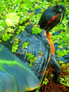Yellow Bellied Slider Turtle The Yellow Bellied Slider Is