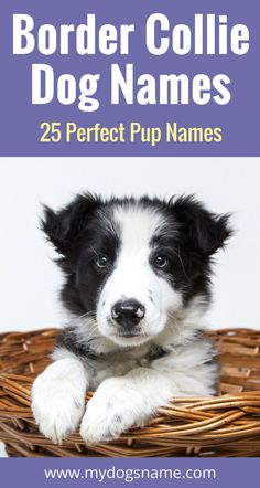 25 wonderful names for your new Border Collie. Cute, athletic, cultured and so much more. These dog names are perfect for a new pup!
