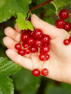 Learn how to plant a currant bush in your home garden with this step-by-step guide from HGTV.