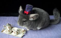 Funny Chinchilla Funniest and Cutest Chinchillas Playing (Full) [Funny Pets] Funny Horse Videos, Funny Animal Videos, Funny Animals, Cute Animals, Animal Fun, Animal Pics, Chinchillas, Animal Dress Up, Cheap Pets