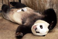 パンダの赤ちゃん (via Panda Baby Sleeps on Mom | Cute Wild Animals | Cuteaholic)