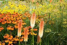 Kniphophia 'Tawny King', Helenium 'Sahin's Early Flowerer', Foeniculum vulgare, and yellow flowers of Ratibida pinnata. The Plant Specialist Nursery, Buckinghamshire - © Fiona McLeod/GAP Photos