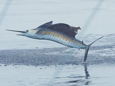 Sailfish abound in Central America's Pacific waters