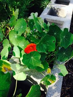 Our first Nasturtium flower!  These are great companion plants that help ward off pest!   We plant them in the Cinder Block holes but they do need water especially if you don't have rain!    http://www.glutenfreelady.com