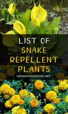 Garden Pest Control entails the regulation and control of pests, which is a type of species that are damaging to plants. Garden pests diminish the quality and Snake Repellant Plants, Mosquito Repelling Plants, Olive Garden Dressing, Lush, Dubai Miracle Garden, Magic Garden, Box Garden, Garden Bed, Garden Ideas