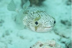 puffer fish are happy when not inflated :)