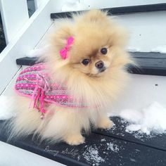 """This is a special gift our wonderful friend had made for Sophie to keep her cozy during the winter while she's healing. The designer even named it """"Love Pink Sophie-sticated Tweed Coat"""" after Sophie! by pommygirls Super Cute Animals, Cute Baby Animals, Animals And Pets, Pom Dog, Cute Pomeranian, Most Beautiful Dogs, Cute Dog Pictures, Cute Dogs Breeds, Puppy Clothes"""