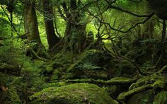 Ancient moss covered cedar forests- Yakushima, Japan