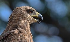 Indian Black Kite STICKING OUT ITS TONGUE !!
